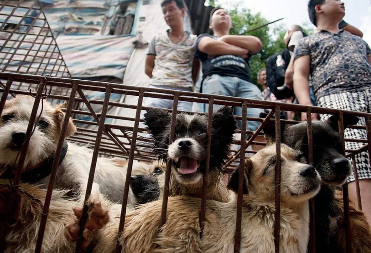 Koiria häkissä myytävänä Yulinin kaupungissa Kiinassa.