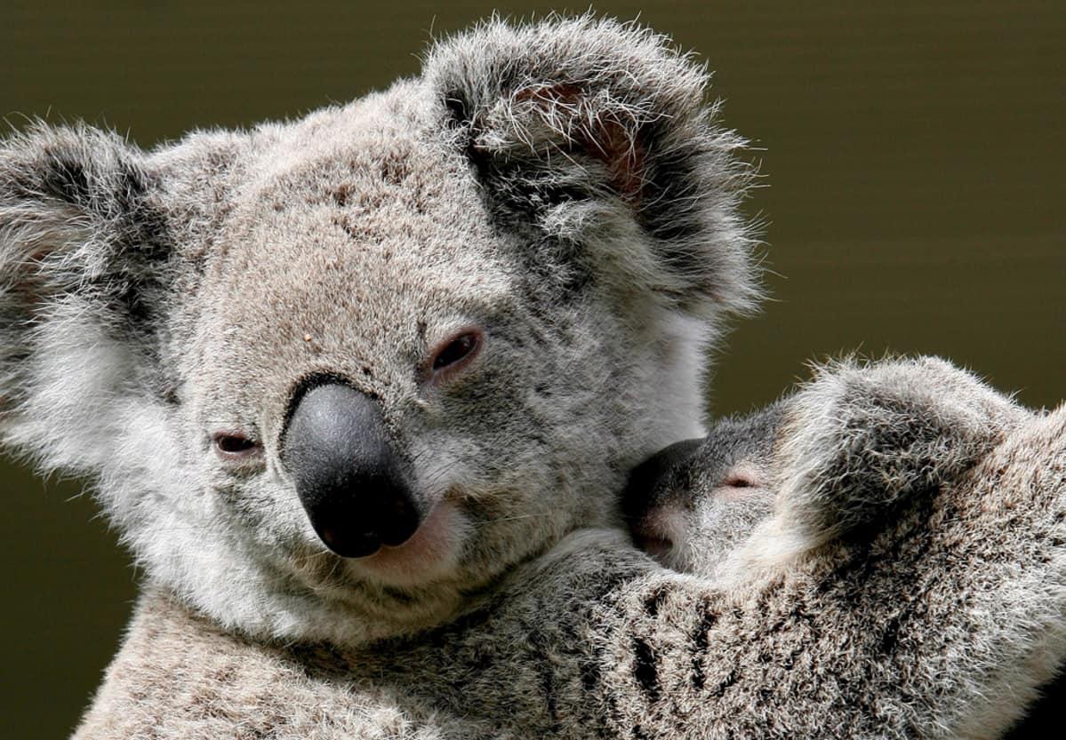 Koalaemo poikasensa kanssa eläinpuistossa Sydneyssa.