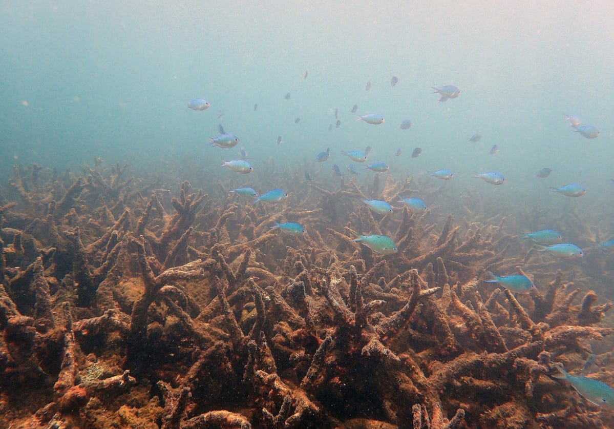 Kuollutta korallia Isolla valliriutalla marraskuussa 2016.