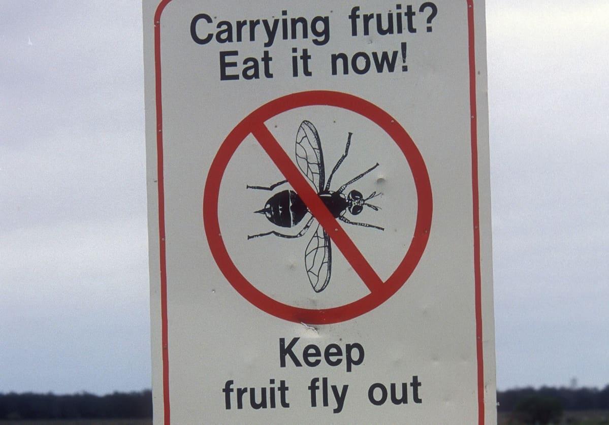 Varoituskyltissä banaanikärpäsen kuvan  yli on vedetty punainen viiva ja teksti kehottaa syömään mukana olevat hedelmät heti ja pitämään banaanikärpäset loitolla.