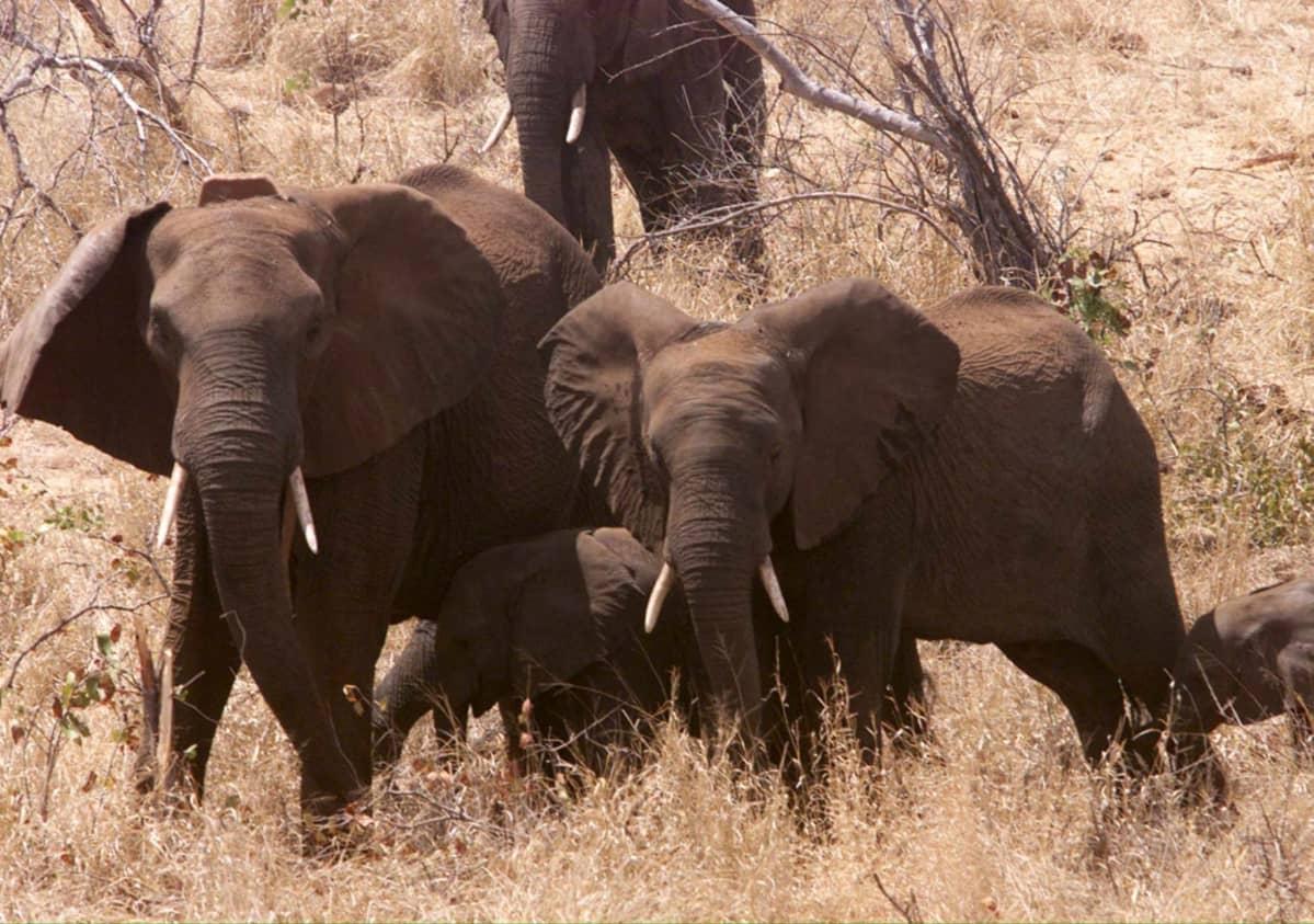 Norsuja Suuren Limpopon luonnonpuistossa. Vuonna 2002 avattu puisto sijaitsee Zimbabwen, Etelä-Afrikan ja Mosanbikin raja-alueella.