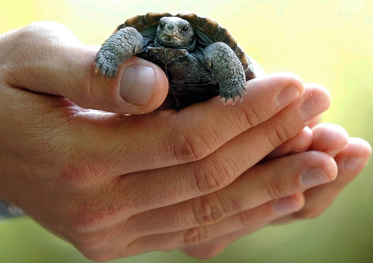 Naisen käsissä kilpikonnanpoika