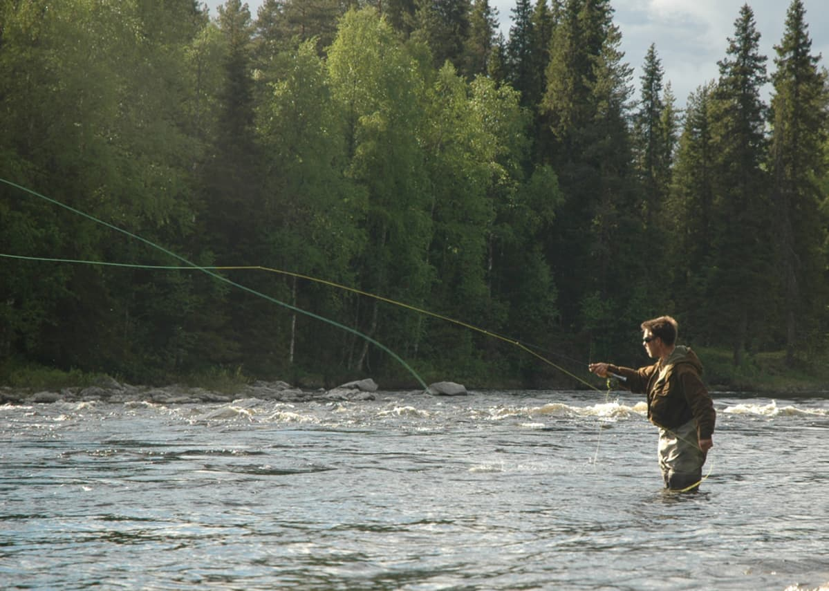 Perhokalastaja seisoo joessa ja koekalastaa istutettuja kaloja.