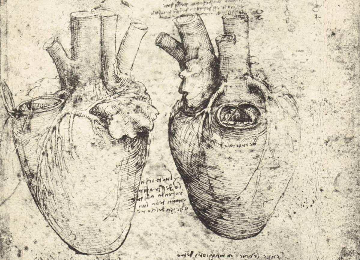 Kaksi anatomisesti tarkkaa piirrosta sydämestä.