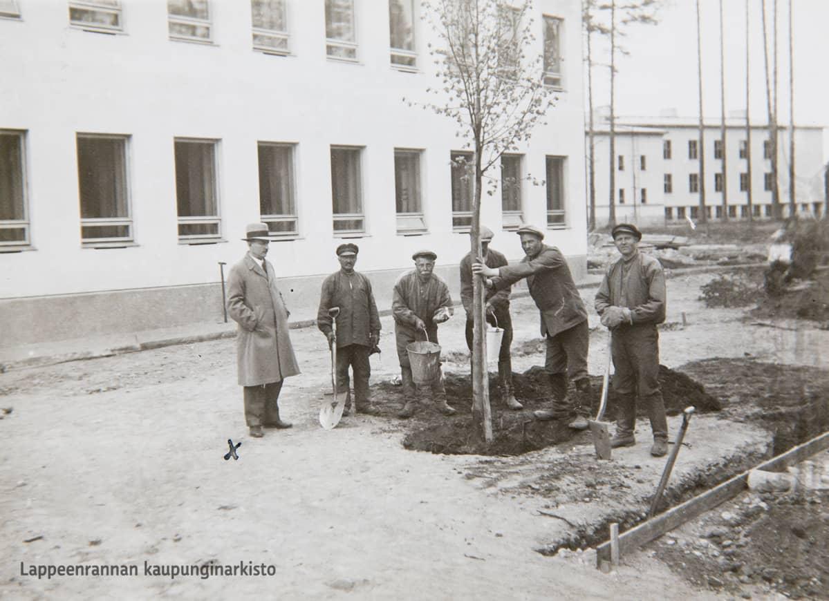 Lauritsalan Kauppalantalon pihalle istutetaan ensimmäistä lehmusta keväällä 1936.