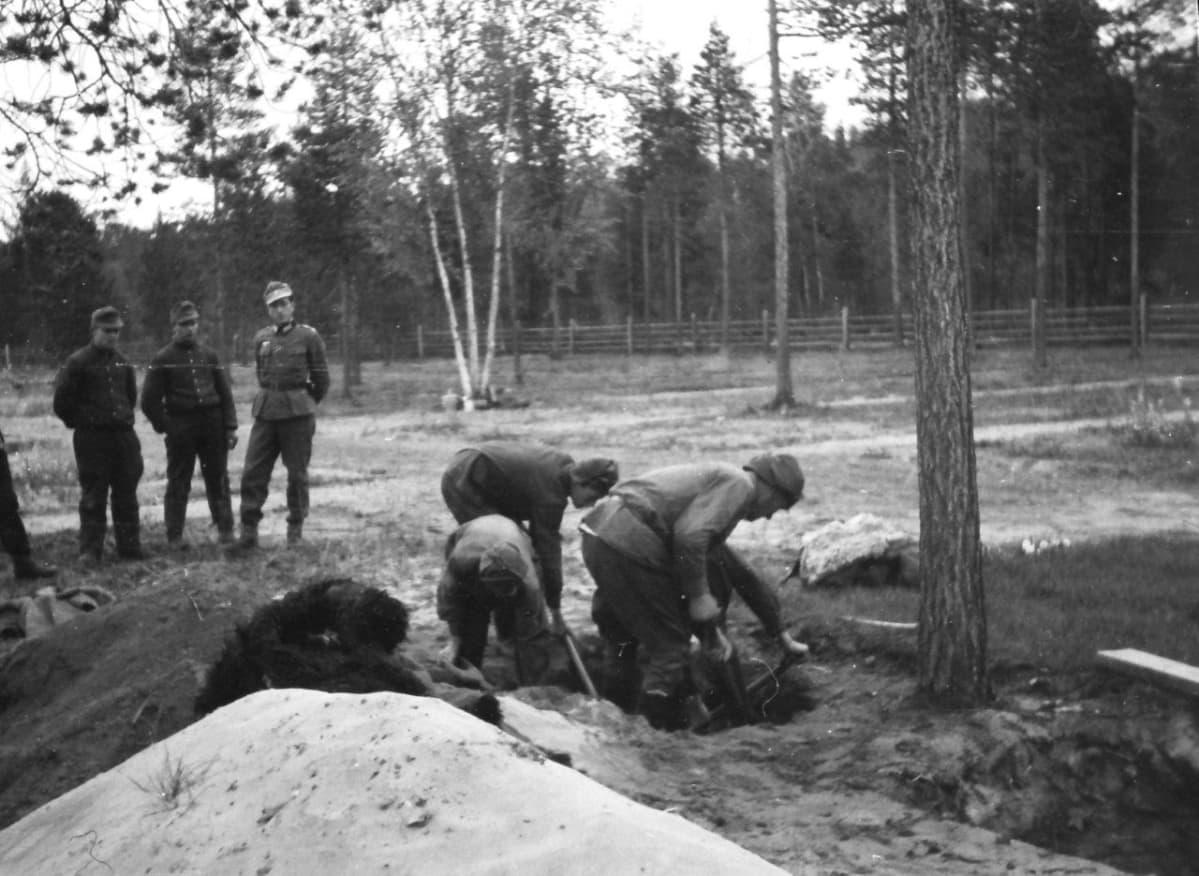 Saksalaiset sotilaat vahtivat sotavankien työskentelyä. Antti Peronius arvioi suomalaisten ja saksalaisten tulkkina toimineen isoisänsä Max Peroniuksen ottaneen kuvan hautoja kaivavista sotavangeista Inarissa sijainneen saksalaisten sotasairaalan alueella vuosien 1942–1944 aikana.