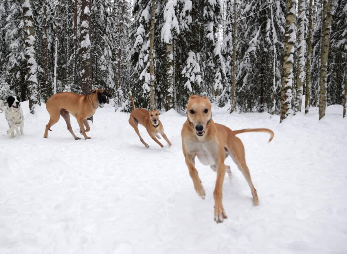 Koirat leikkivät metsässä