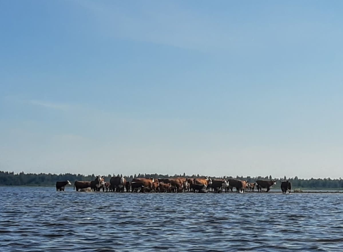 Lehmät vilvoittelevat meressä Haukiputaalla
