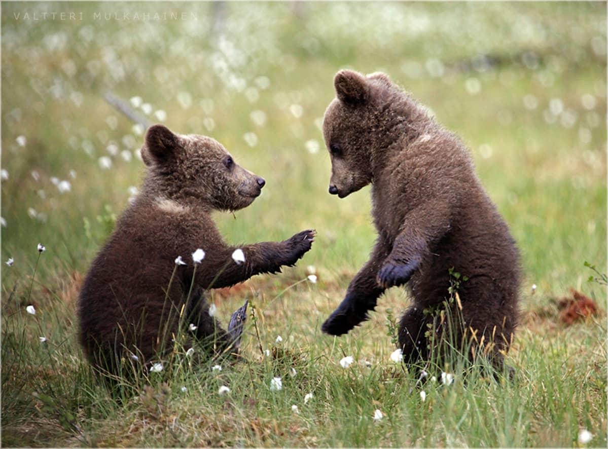 Kaksi karhunpoikaa leikkii suomaisemassa.