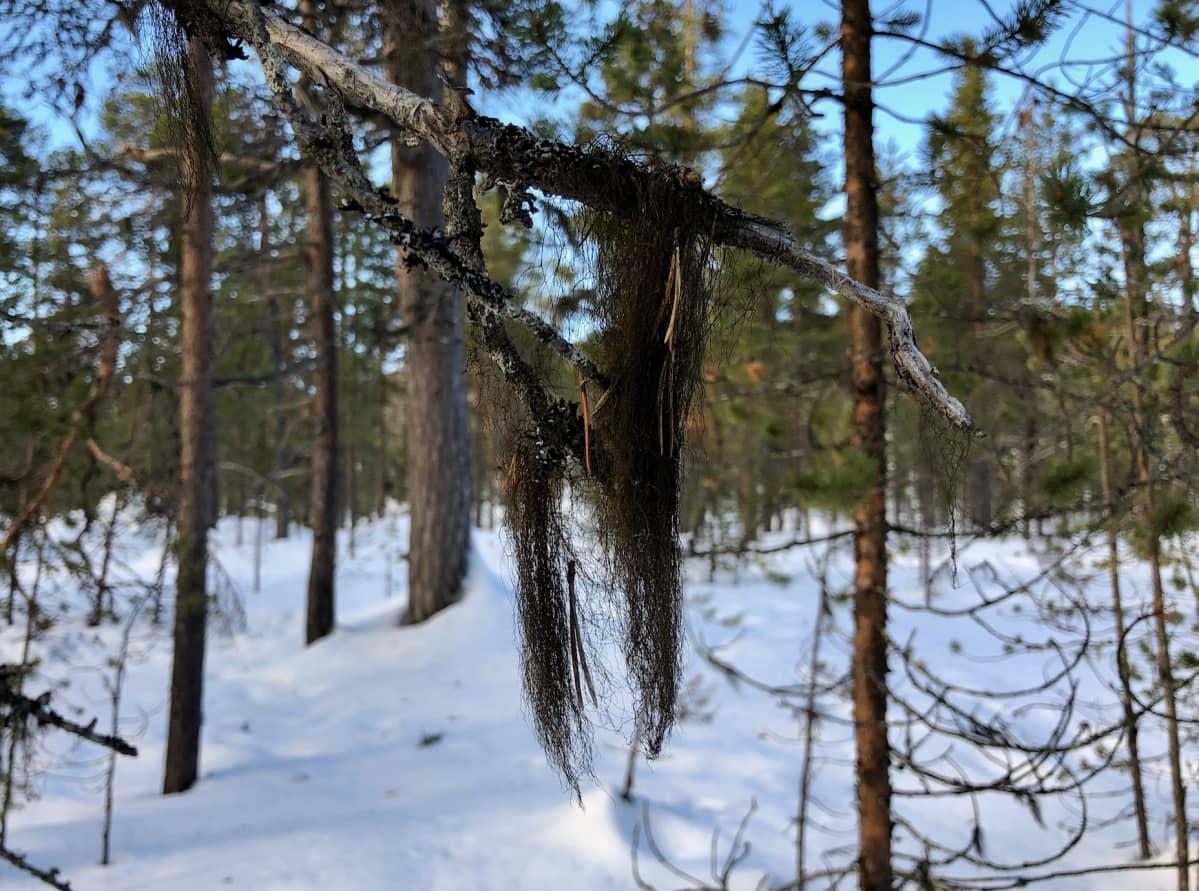Juutuan ulkoilualueen vanha metsä Inarissa tuottaa luppoa.  10.3.2020