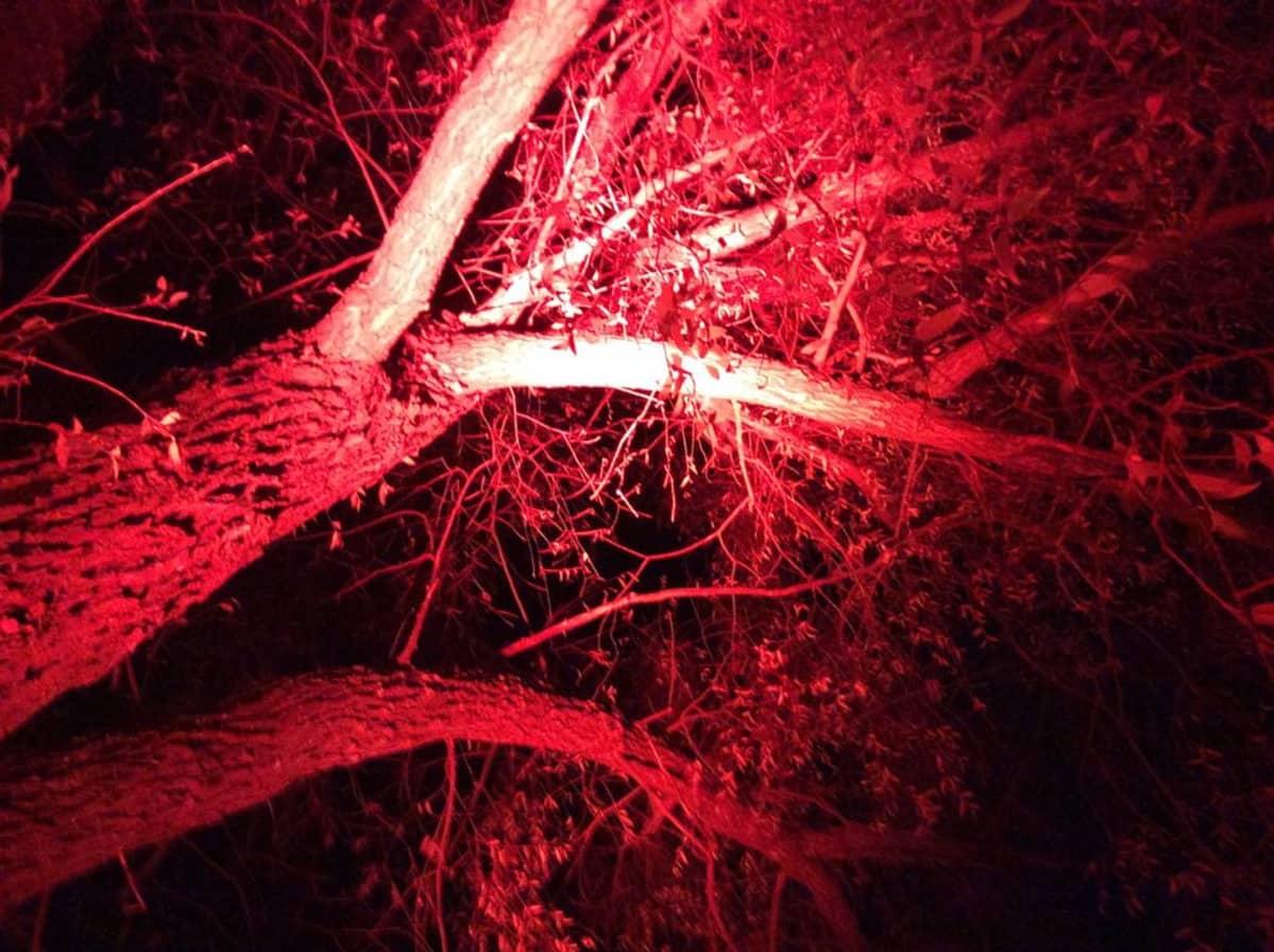 Lehtipuu valaistuna punaiseksi.