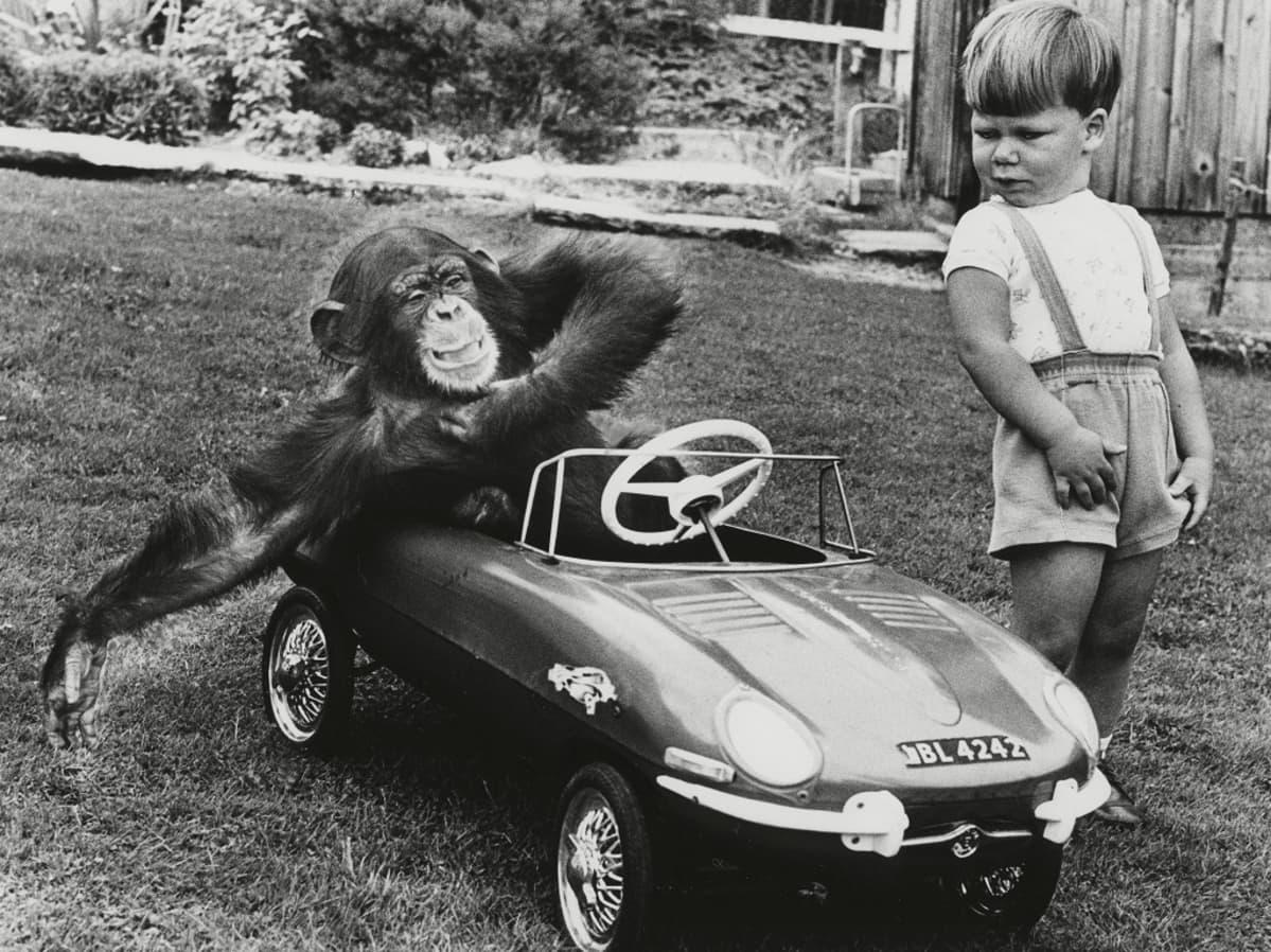 Mustavalkoinen kuva pikkupojasta, joka katselee polkuautossa istuvaa simpsanssia.