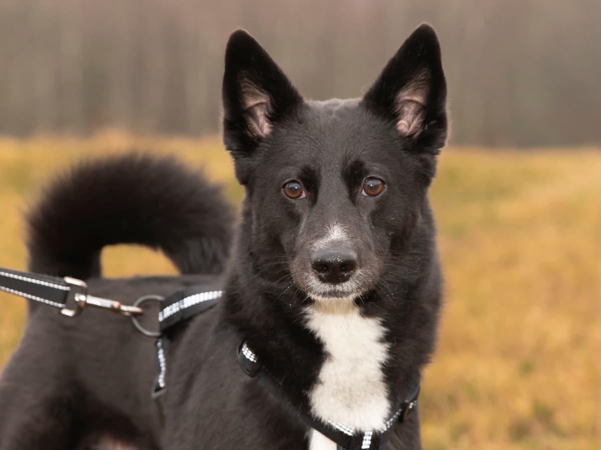 Amadeus, mustavalkoinen seiskarinkoira.