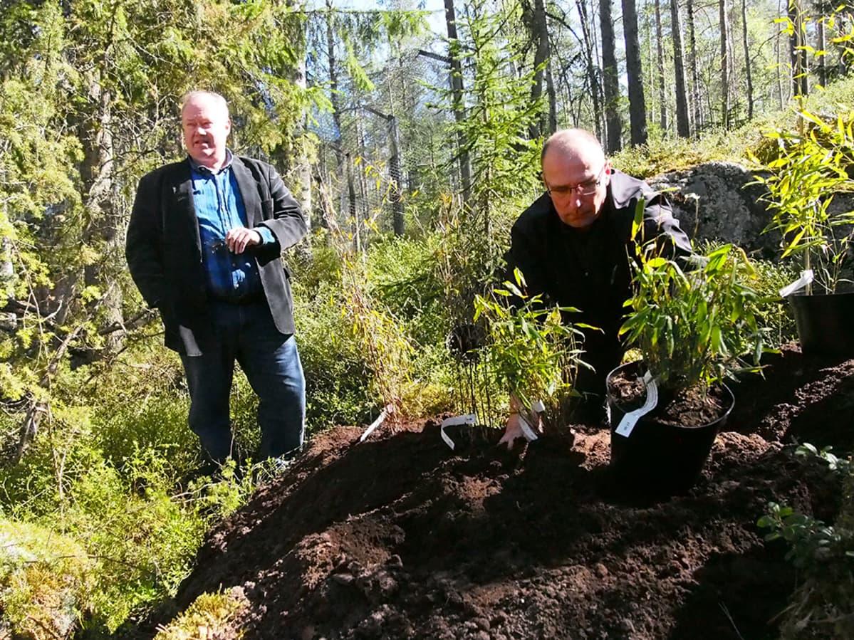 Jukka Salo ja Jari Luokkakallio istuttivat tänään Ähtärin ensimmäiset bambut koeviljelmälle.