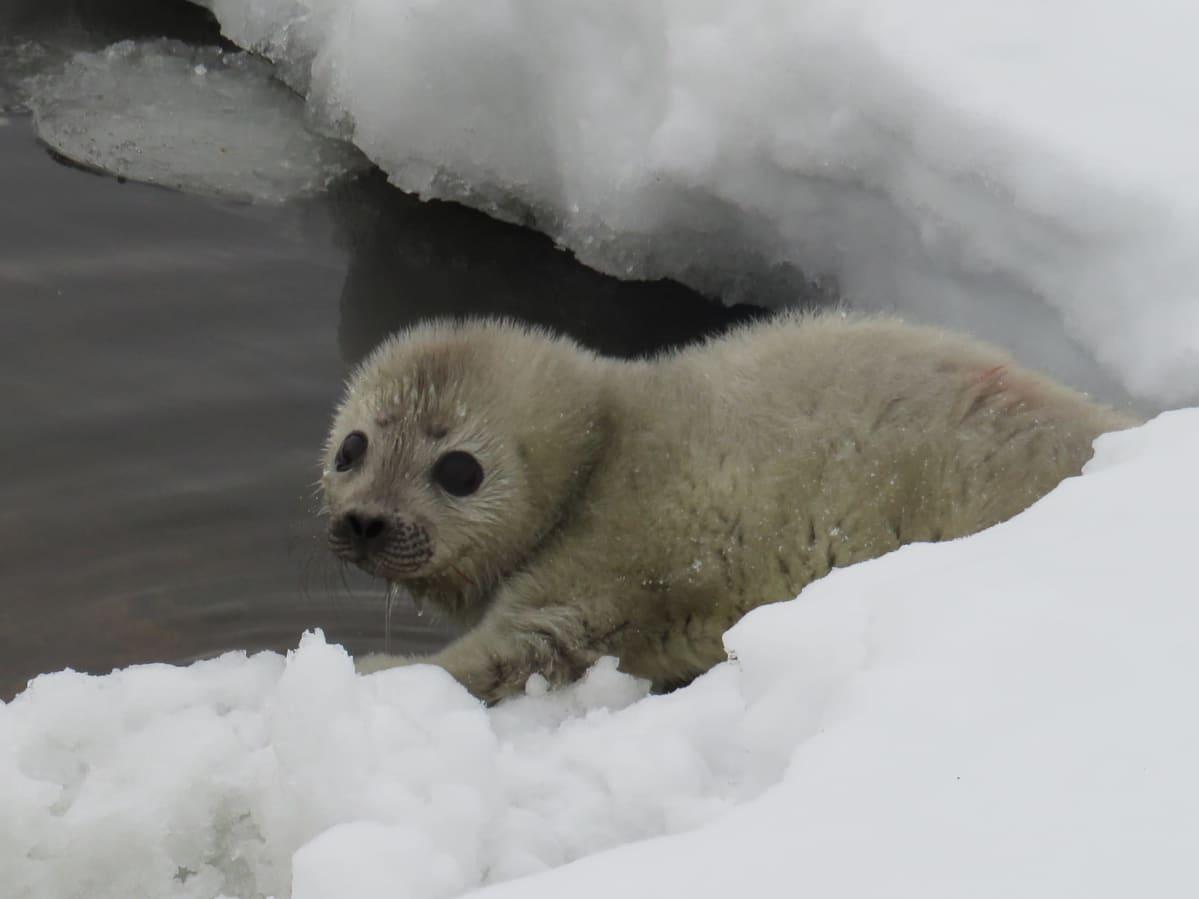 Saimaannorpan poikanen kurkistaa lumisen luodon takaa.