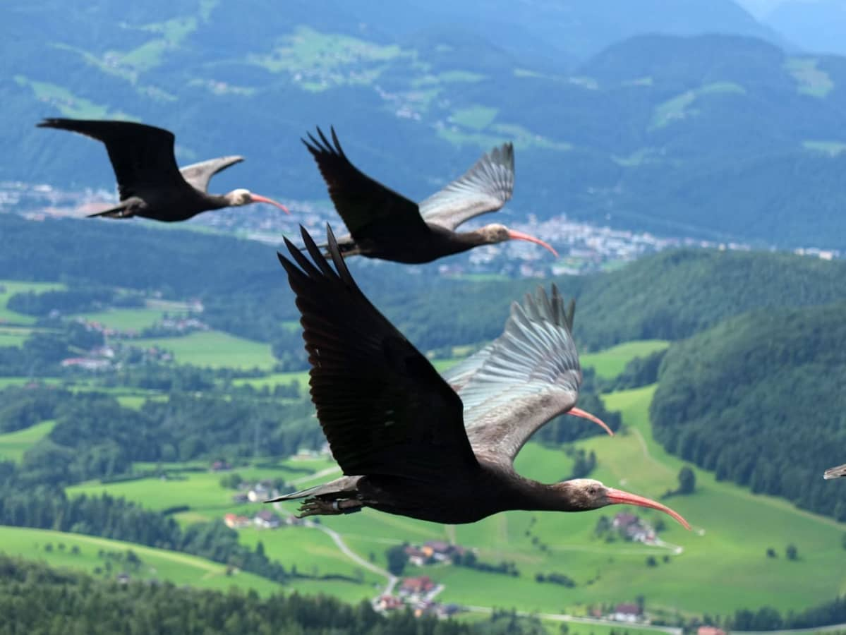 Töyhtöiibikset opetettiin lentämään Alppien yli Italian Toscanaan lyhyinä pätkinä etappi kerrallaan.