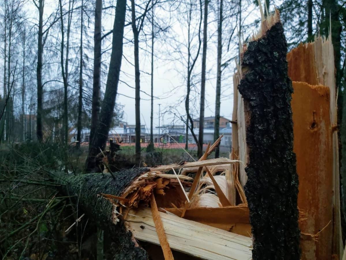 Iso kaatunut kuusi Nokian Viholan koulun lähellä