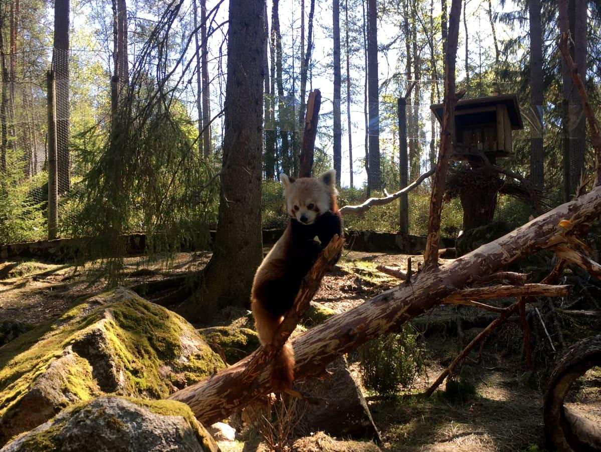 Pikkupanda asustaa jo Ähtärin eläinpuistossa. Se syö päivittäin pari sataa grammaa bambua.