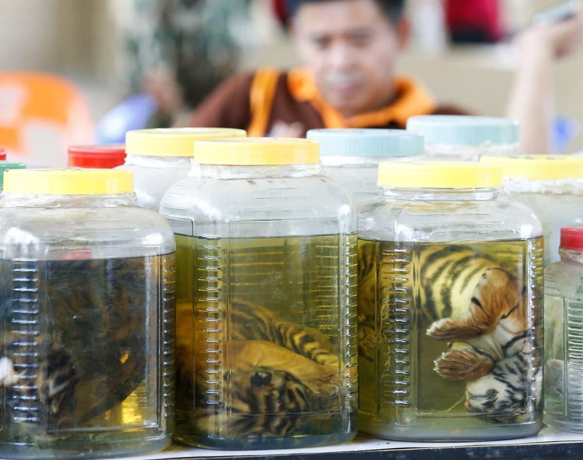 Kuolleita tiikerinpoikasia purkeissa.