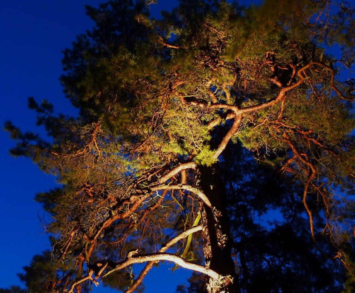 Suomen ihastuttavin puu -finalisti, mänty Velkualla.
