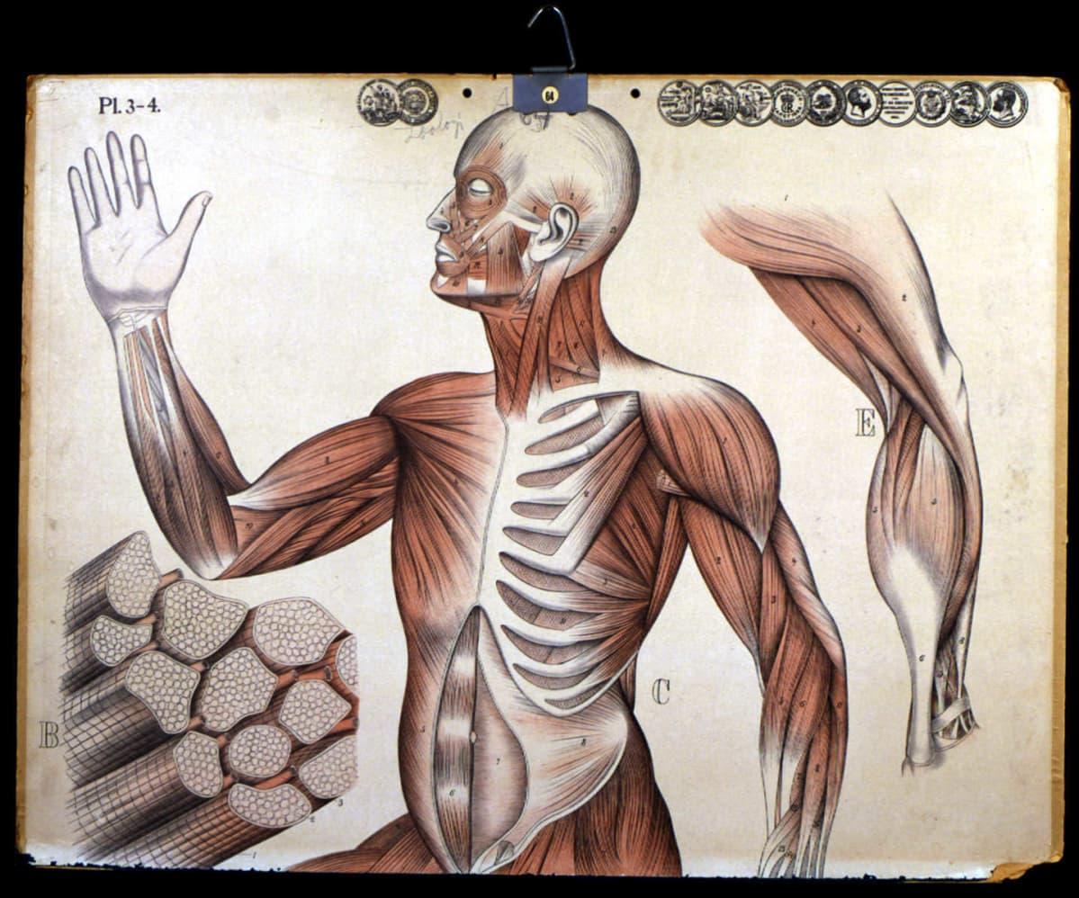 Kuvassa on vanha ihmisen anatomian opetustaulu (Scola9818) 1900-luvun alusta.