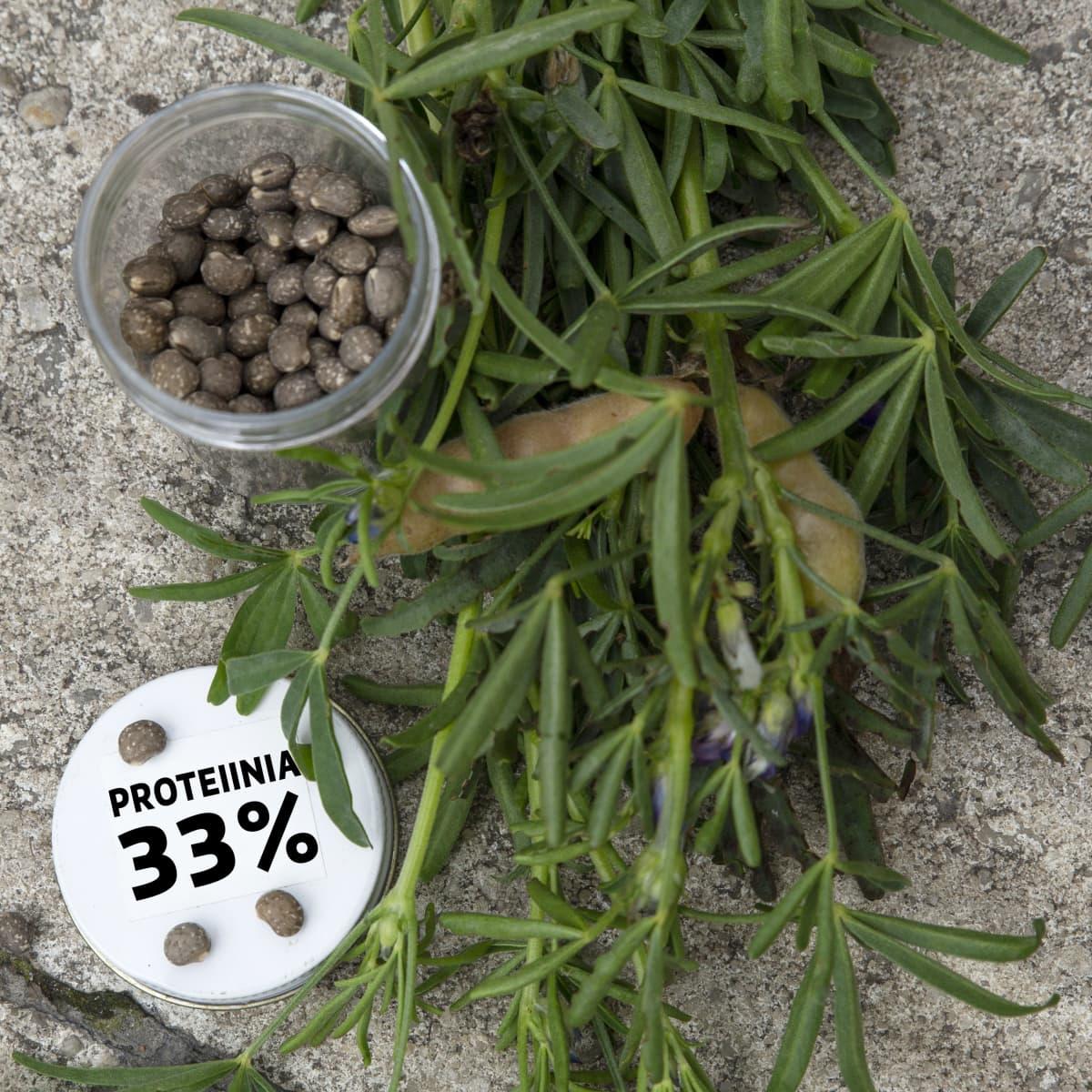 Sinilupiinin siemeniä ja kyltti: proteiinia 33%.