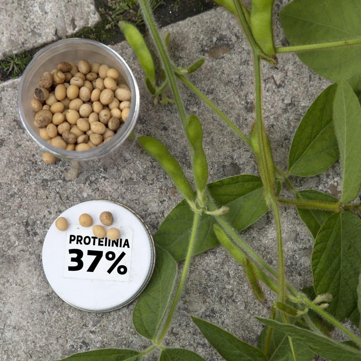 Soijapapuja ja kyltti: proteiinia 37%.