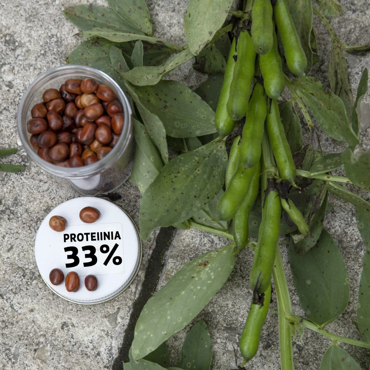 Härkäpapuja ja kyltti: proteiinia 35%.