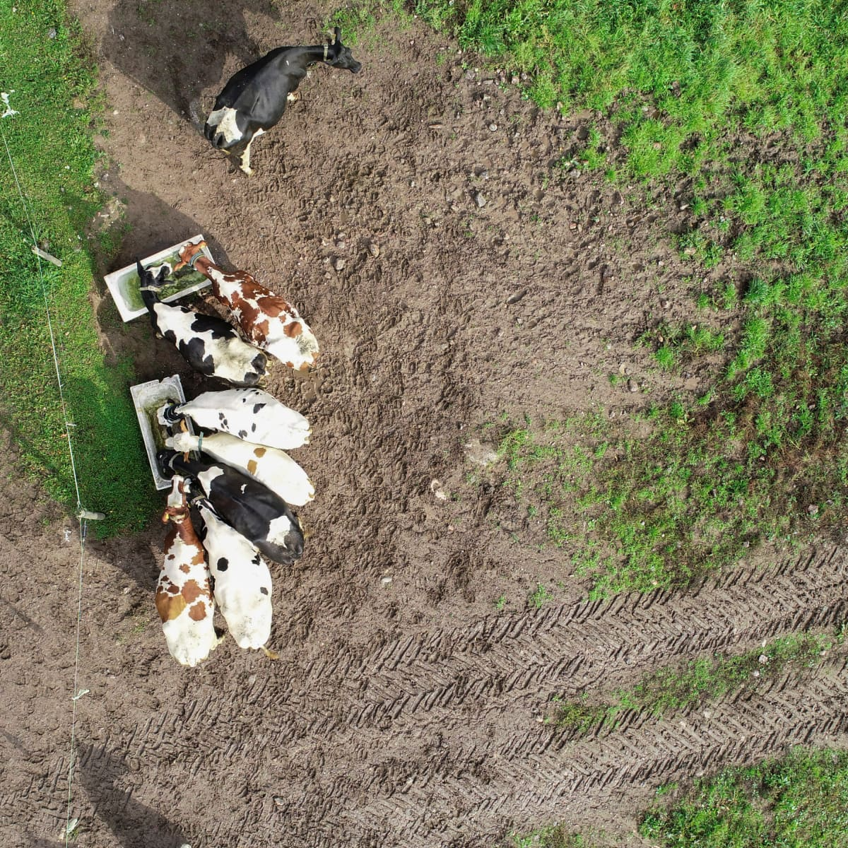 Lehmiä juomassa.