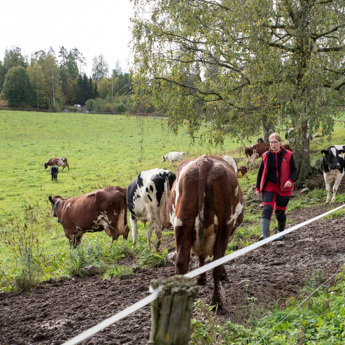 Helena Pesonen lehmiensä kanssa laitumella.