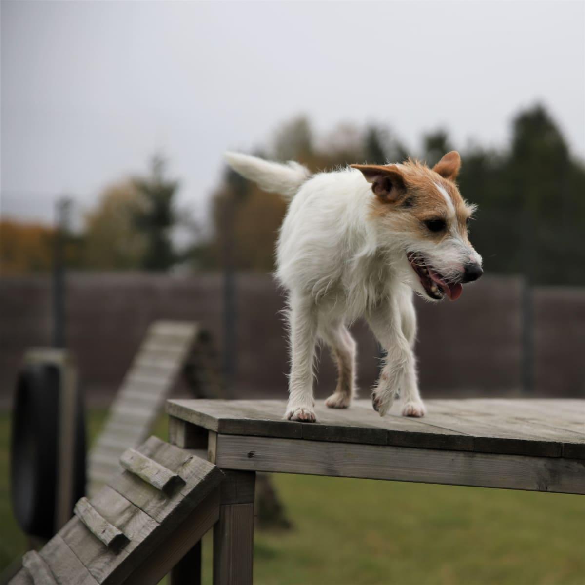 Koira ulkona agilitytelineellä