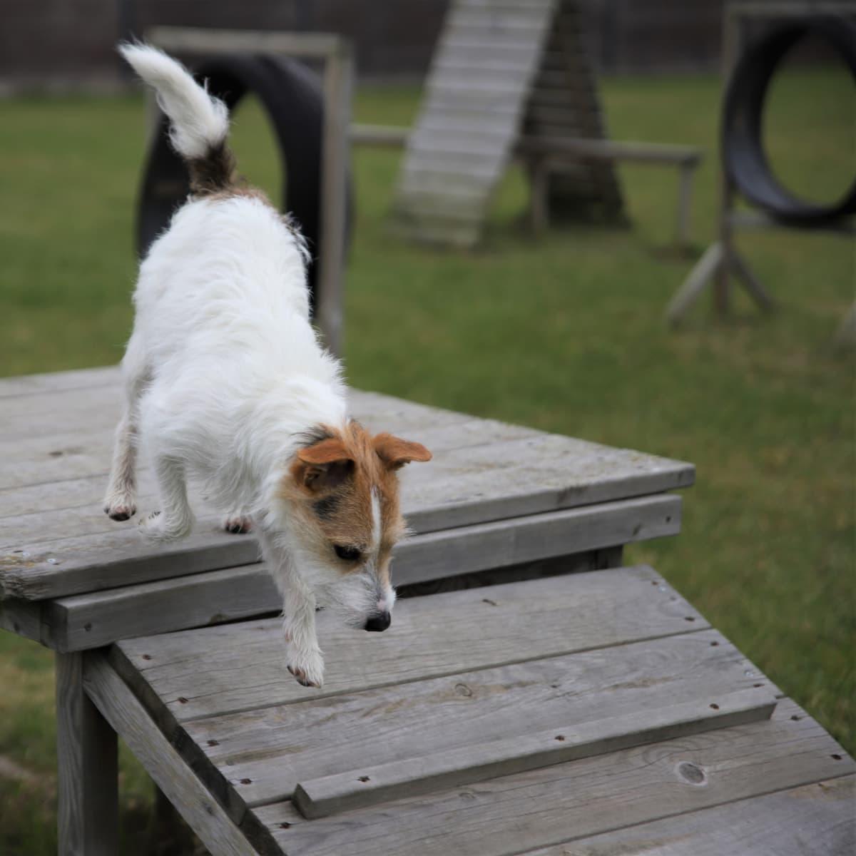 Koiraa kiipeilee agilityradan telineillä