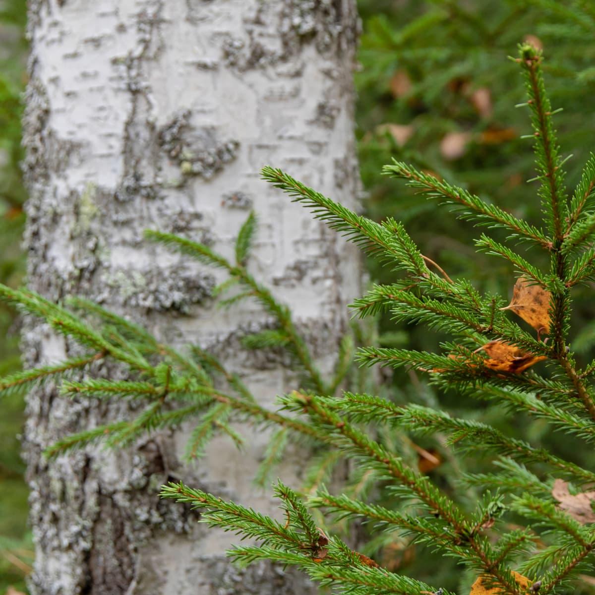 Kestävä metsä kuusi ja koivu