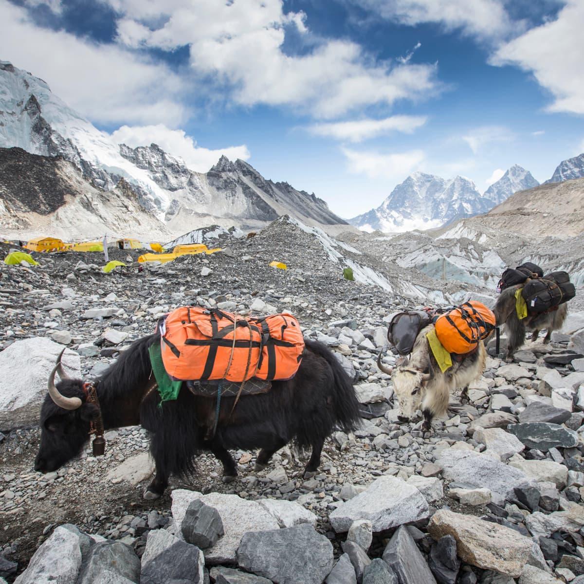 Šerpa jakkeineen saapumassa Mount Everestin basecamppiin 5364 metrin korkeudessa.