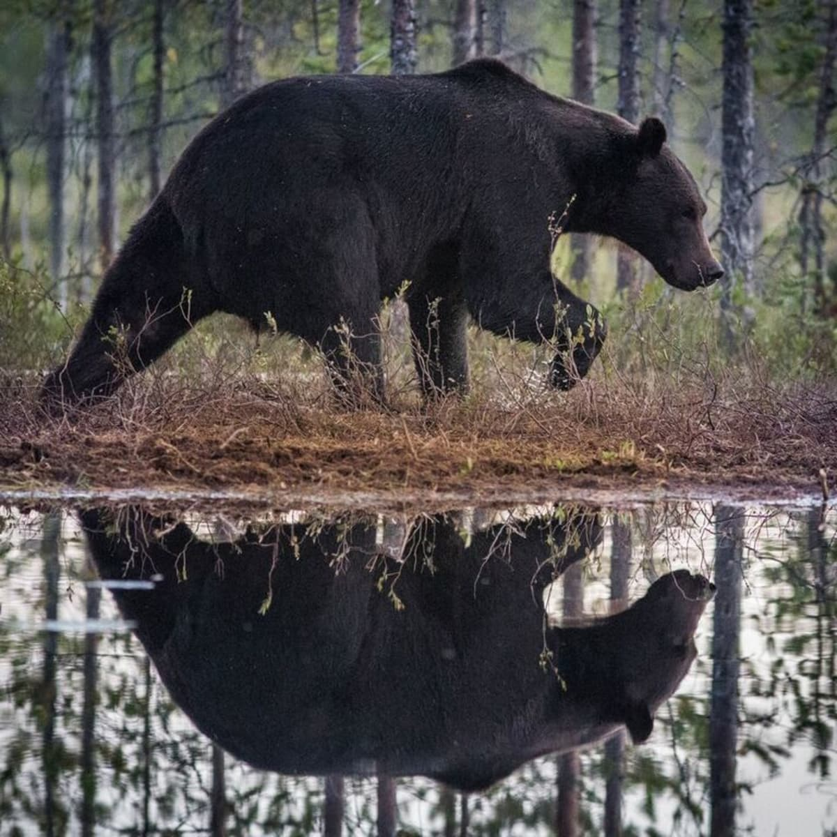 Karhu kävelee veden äärellä ja heijastuu veteen
