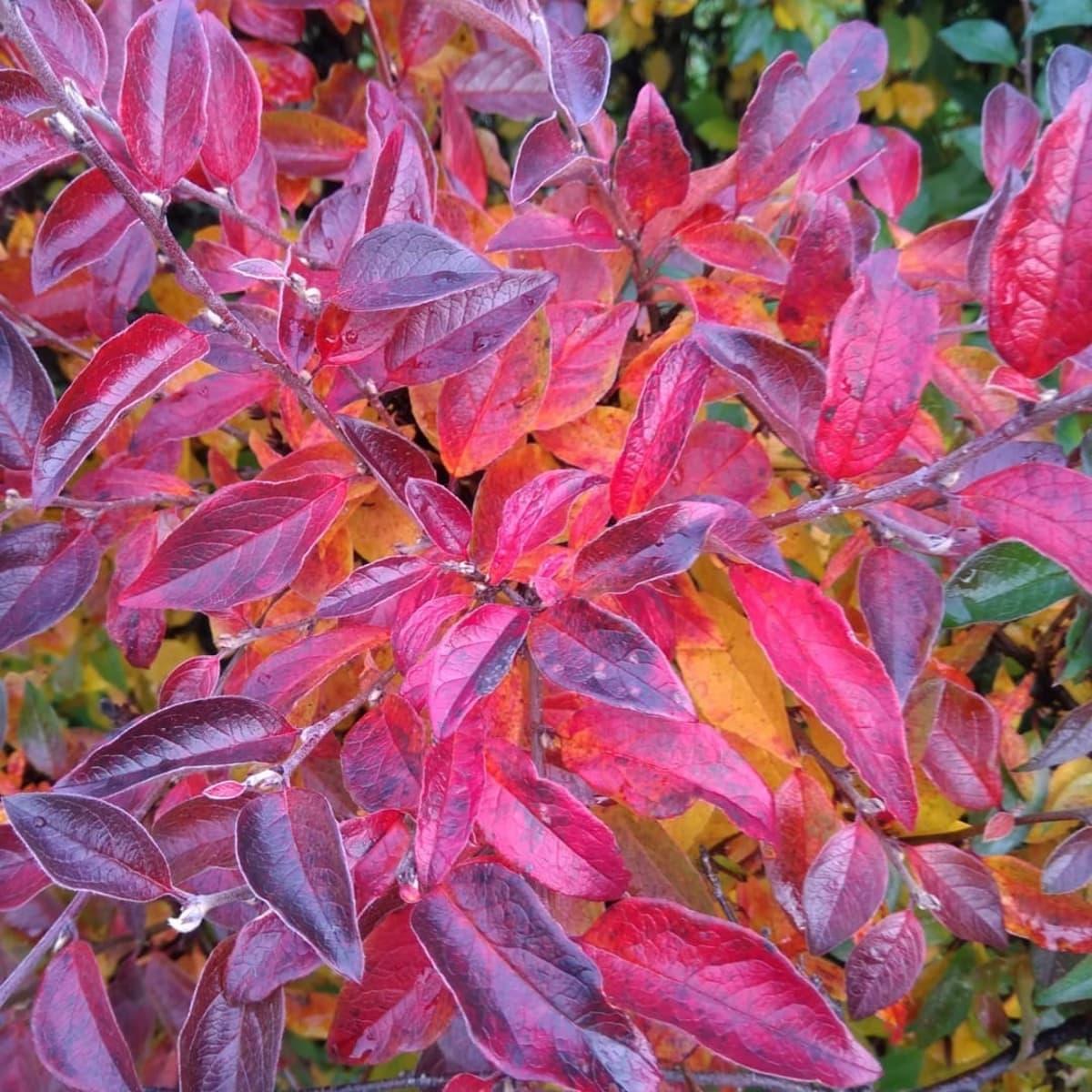 Kasvin lehdet ovat syksyllä punaiset.