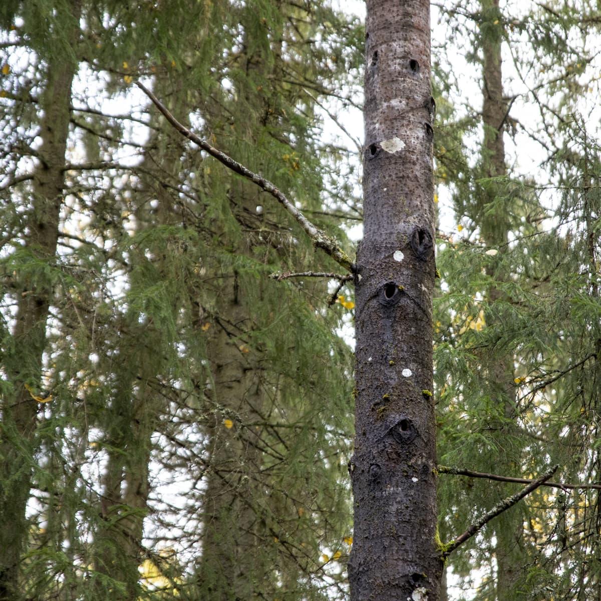 Kolohaapa metsässä: puun rungossa on monia suuria koloja.
