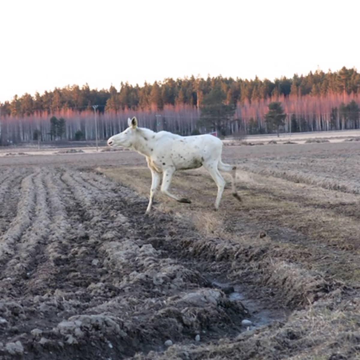 Valkoinen hirvi juoksee pellolla.