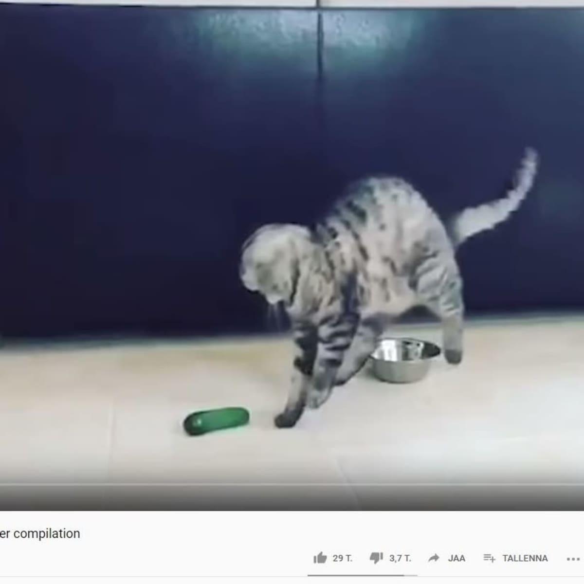Kuvakaappaus Youtube-videosta: kissa on hypännyt ilmaan ja katsoo maassa olevaa kurkkua.