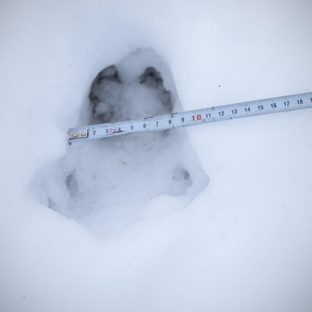 Villisian jälki lumessa