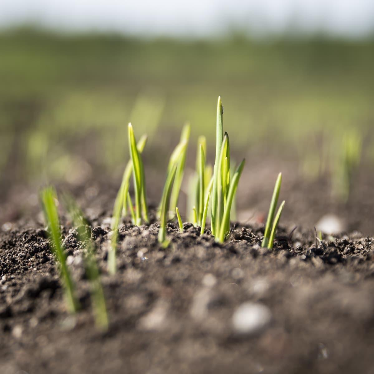 Kaura orastaa pellolla.