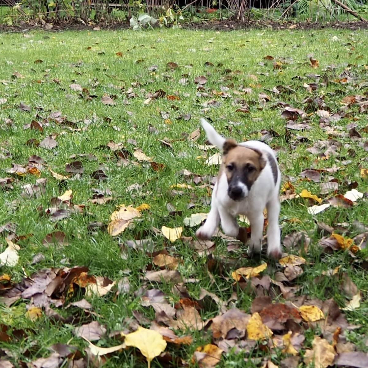 Joppe-koira juoksemassa.