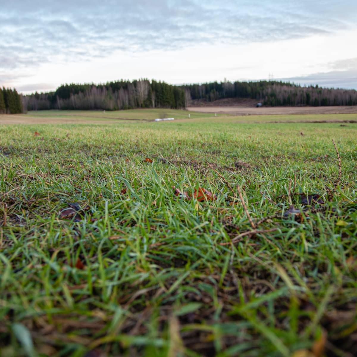 Kasvipeitteinen pelto Ronin tilalla Lappeenrannassa.