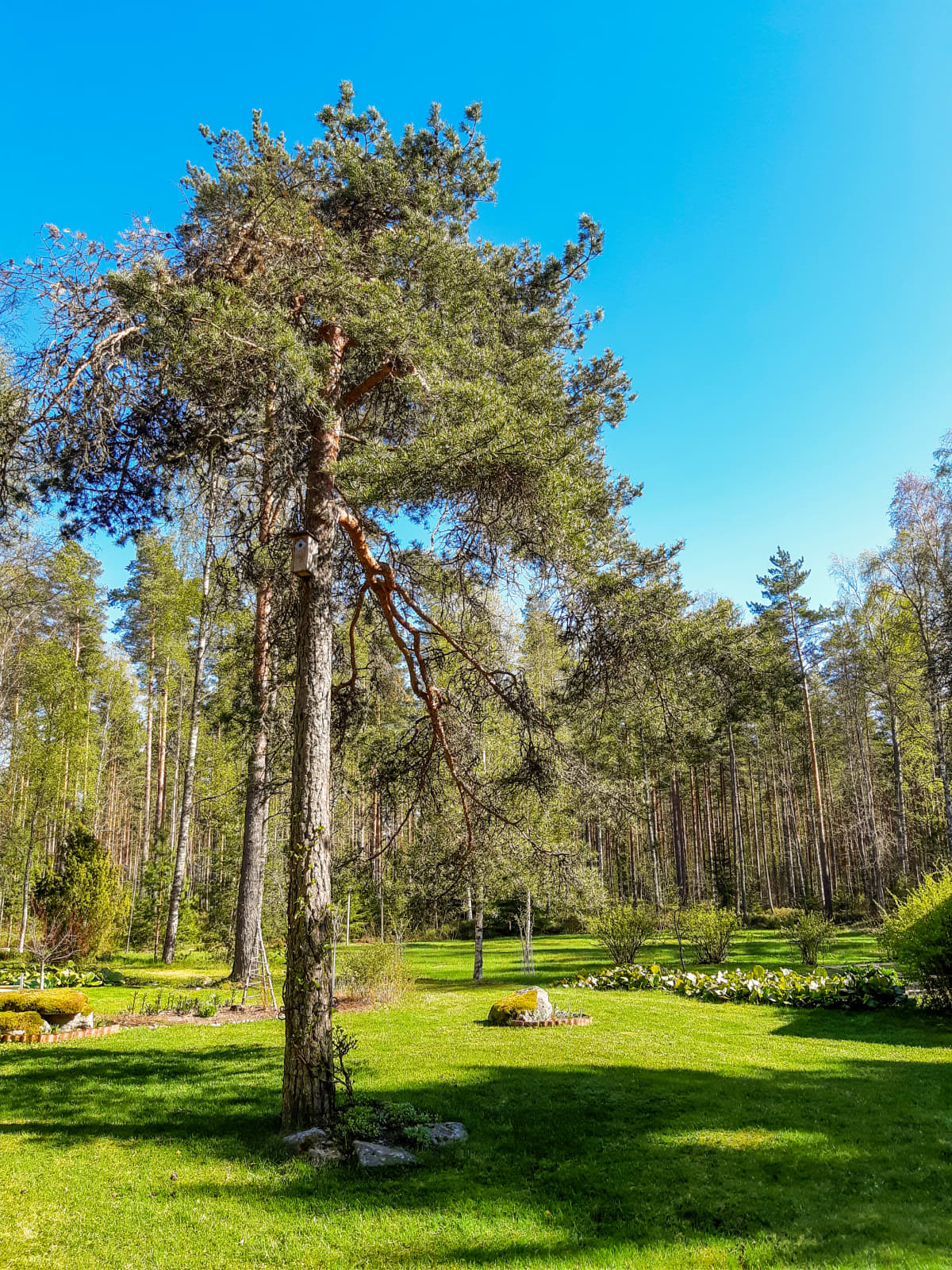 Suomen ihastuttavin puu -finalisti, Papan hevosen kiinnityspuu.