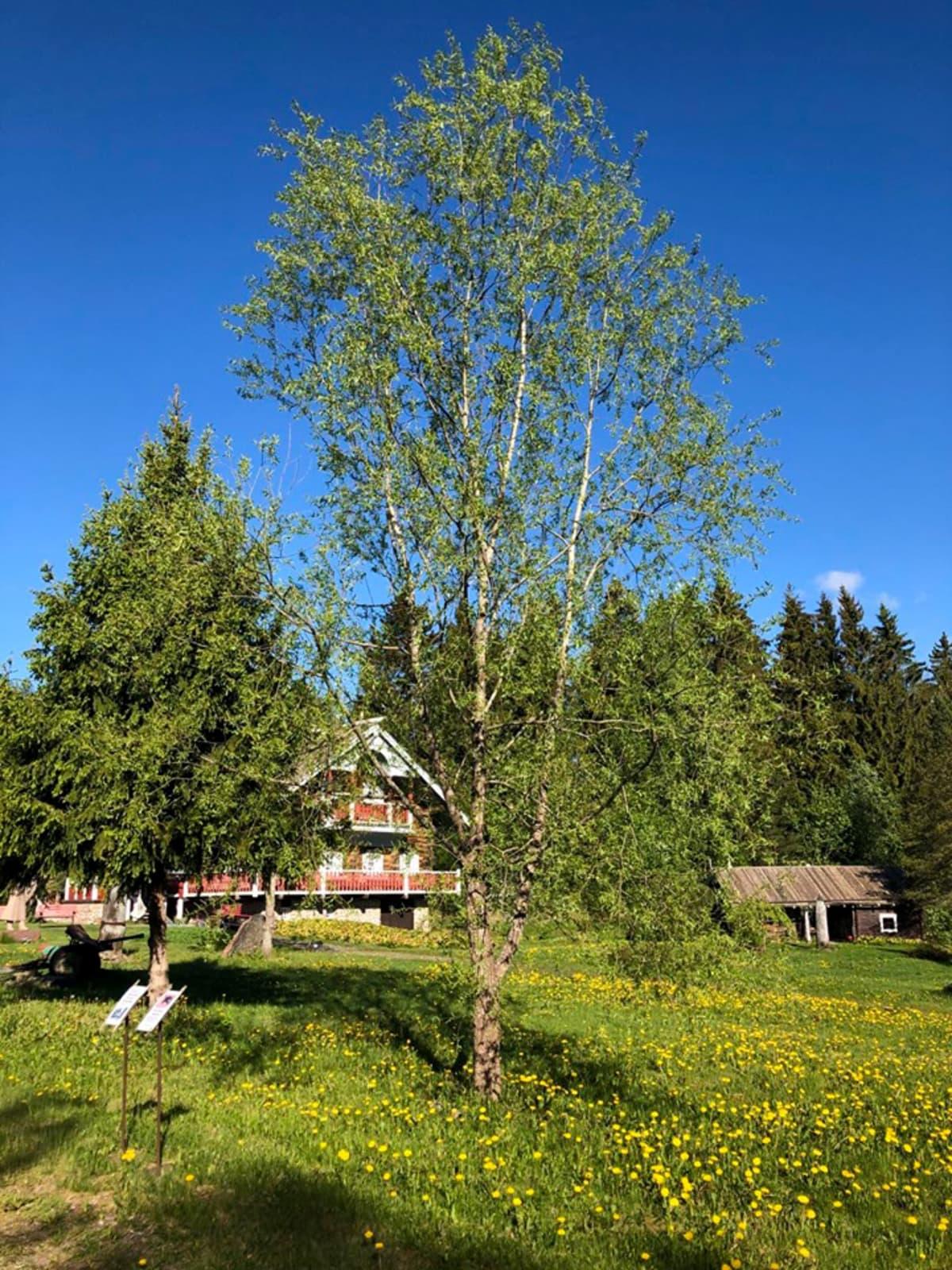 Suomen ihastuttavin puu -finalisti, Hyrsylän mutkan salava.