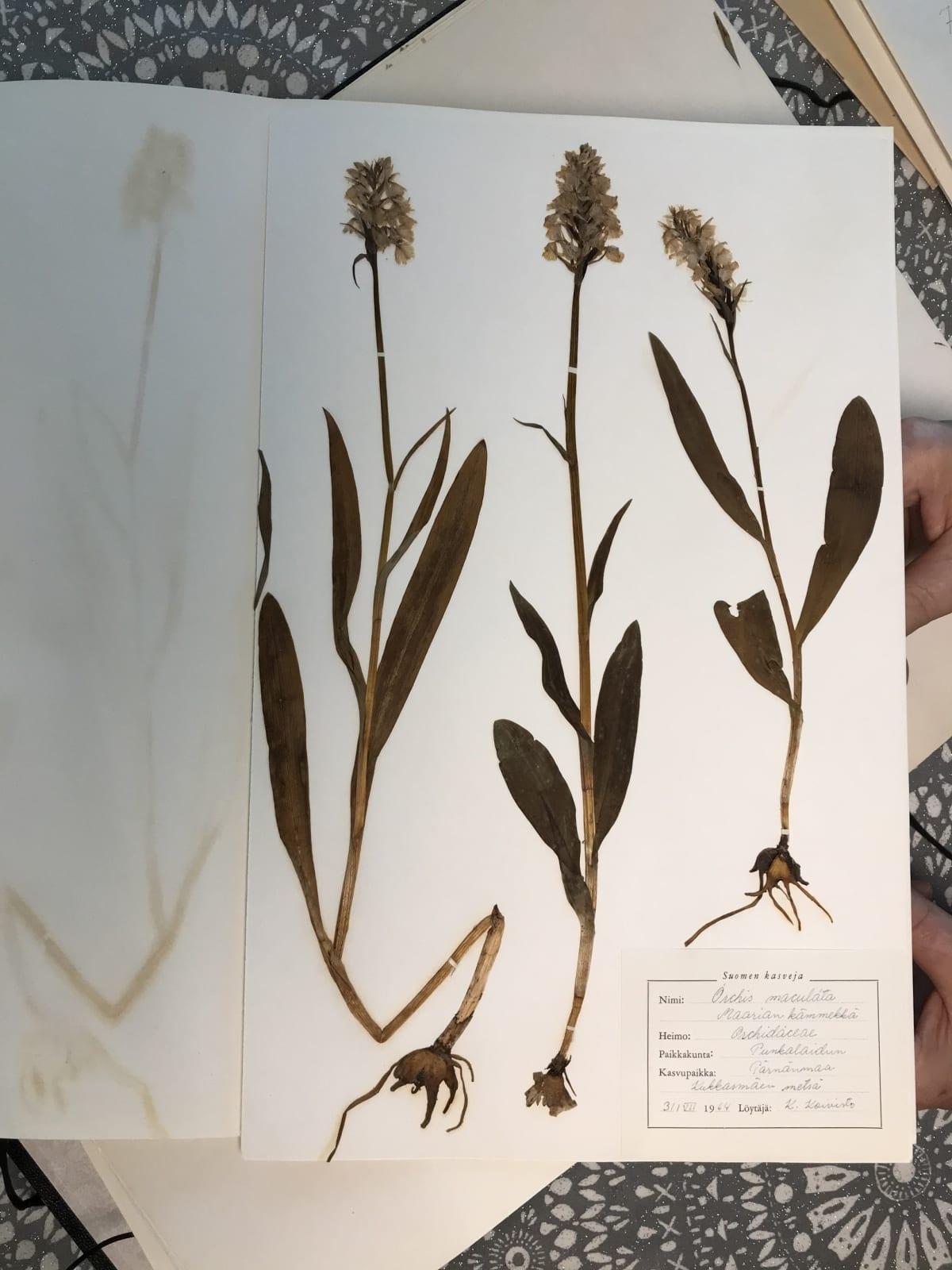 Yksi kasvion harvinaisuuksista on orkideoihin kuuluva maariankämmekkä.