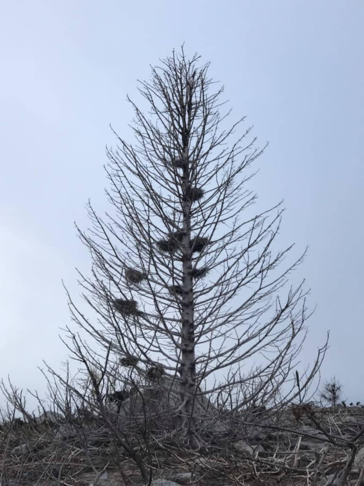 Merimetson pesiä puussa