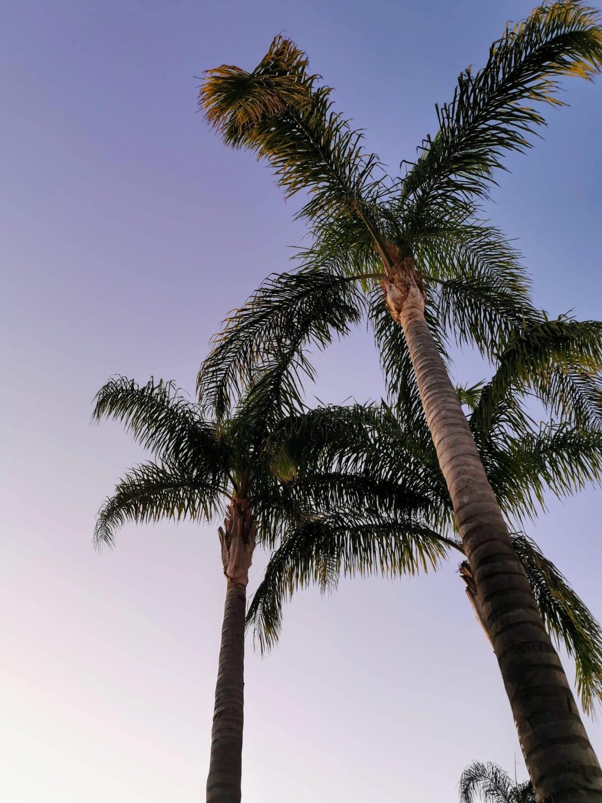 Kuvassa palmuja.