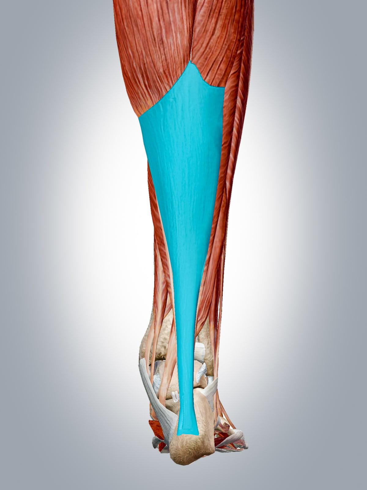Luurankoihmisen jalka, jossa akillesjänne näkyy sinisellä.