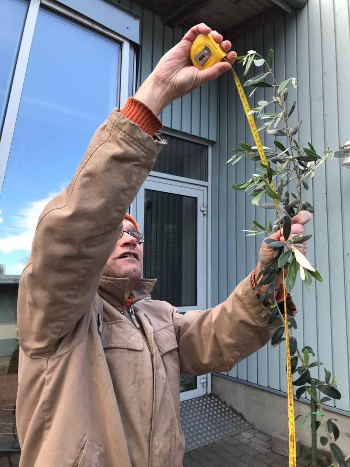 Simo Laine mittaa oliivipuuta.